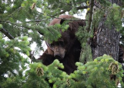 griz_guided hunting trips in british columbia