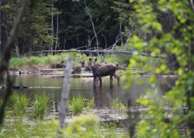 moose6_guided hunting trips in british columbia