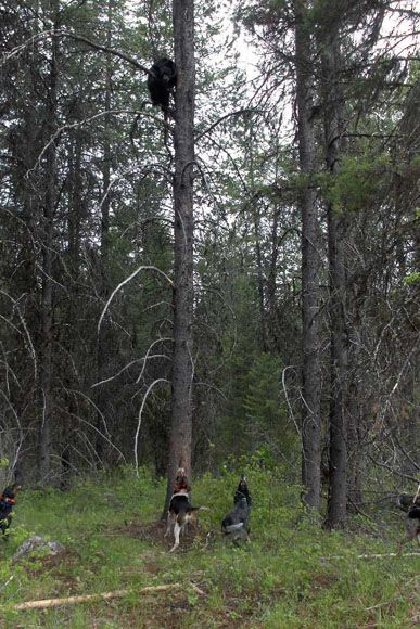 photo_303_black-bear-guided-hunting-trips-in-british-columbia