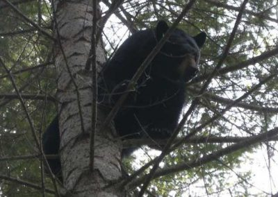photo_313_black-bear-guided-hunting-trips-in-british-columbia