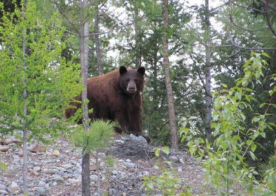photo_407_black-bear-guided-hunting-trips-in-british-columbia